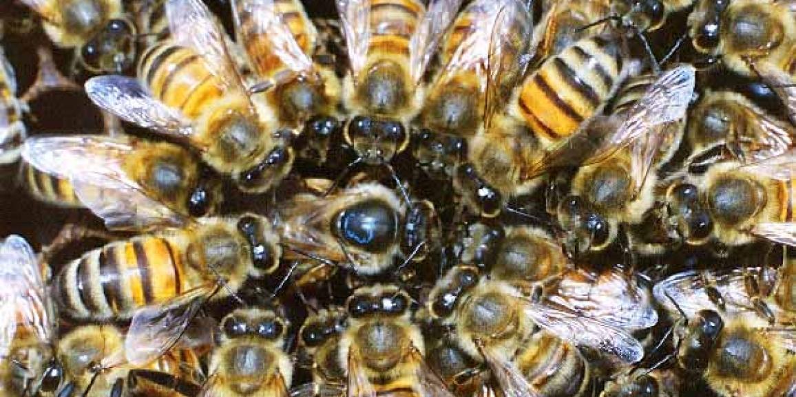 Quel est l'insecte qui est le plus venimeux?