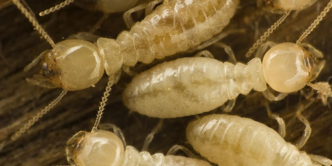 Quel est l'insecte qui vit le plus longtemps?